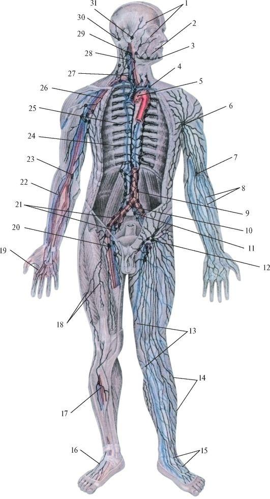 Anatomie und Physiologie des Immunsystems. Was ist das Immunsystem ...