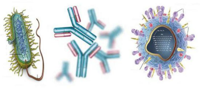 Вырабатывают антитела